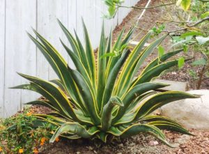 Agave Desmatiana by Chicweed