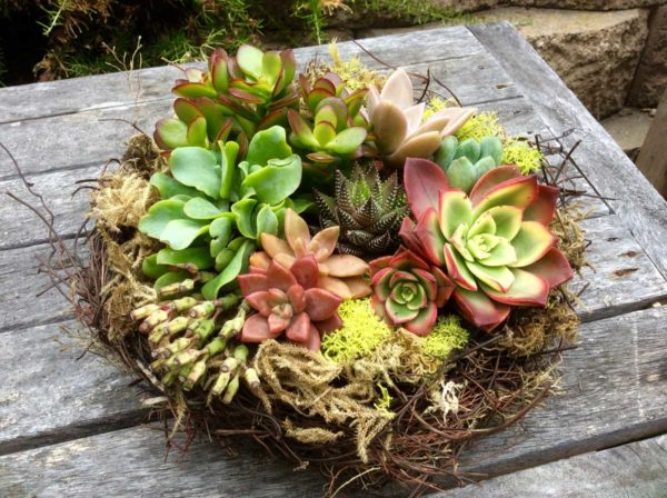 Chicweed - Nest with Succulents