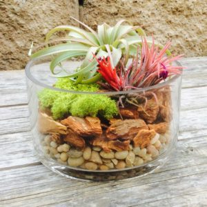 Chicweed - Small Terrarium