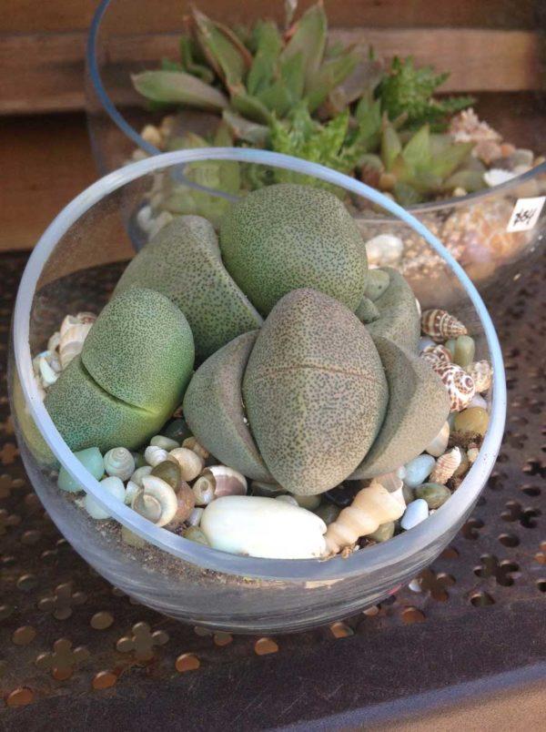 Chicweed - Small Terrarium