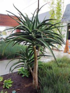 Tree Aloe by Chicweed