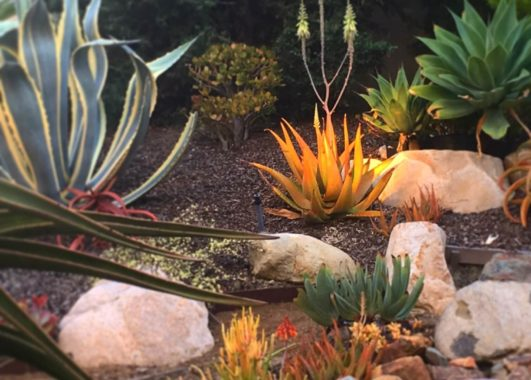 Year-Around Color in a Succulent Garden